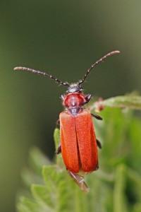 Roodschildkever - Lygistopterus sanguineus