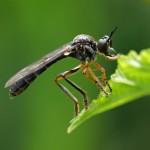Roofvlieg Gewone Bladjager - Dioctria hyalipennis
