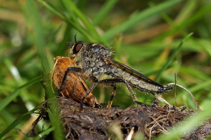 Roofvlieg -Zandroofvlieg - Philonicus albiceps