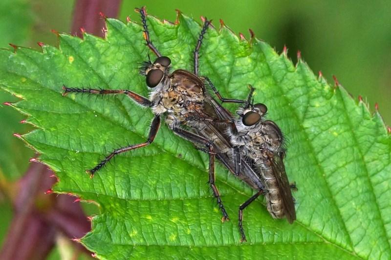 Roodbaardroofvliegen -18+ Eutolmus rufibarbis