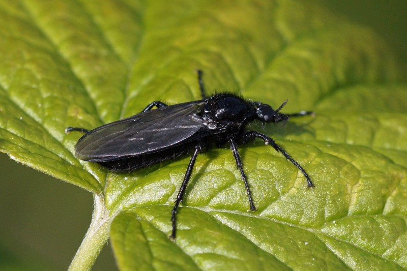 Rouwvlieg-Dilophus-febrillis