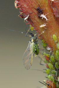 Rozenluis -Macrosiphum rosae