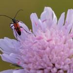 Ruitvlek-smalboktor Leptura bifasciata