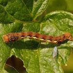 Rups Grote Wintervlinder -Erannis defoliaria