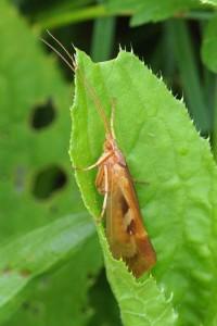 Schietmot -Limnephilus lunatus