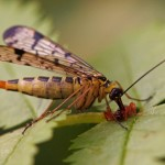 Schorpioenvlieg -Panorpidae