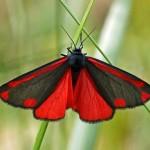 Sint-jacobsvlinder -Tyria jacobaeae