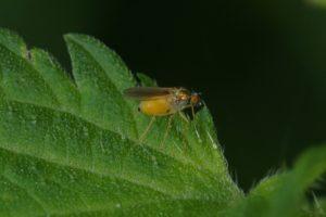 Slankpootvlieg - Chrysotimus molliculus - vrouw