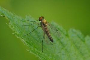 Geelpootschubsnipvlieg - Chrysopilus asiliformis