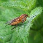 Snavelvlieg - vrouw -Rhagio tringarius