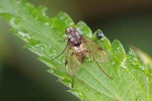 Gewone Schubsnipvlieg - Chrysopilus cristatus