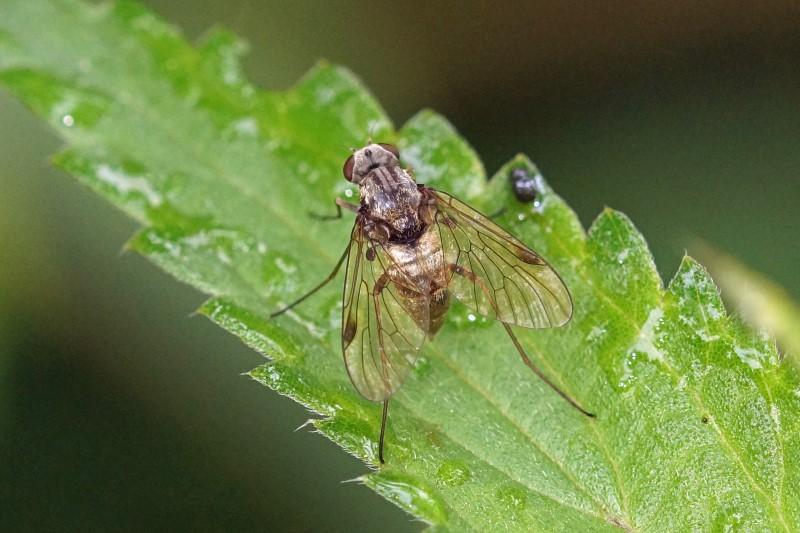 Snipvlieg Snavelvlieg - Chrysopilus cristatus
