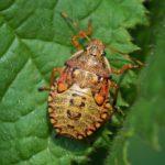 Snuitkeverschildwants nimf- Arma custos