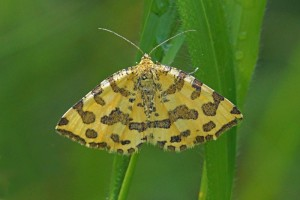 Spanner -Boterbloempje -Pseudopanthera macularia