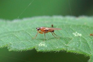 Speervleugelvlieg - Lonchoptera lutea