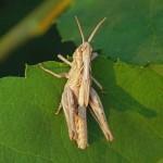 Jonkie -Bruine Sprinkhaan - Chorthippus brunneus