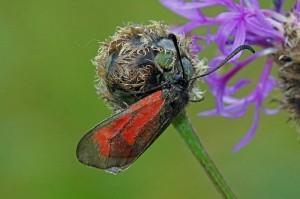 St Jansvlinder -Zygaena purpuralis