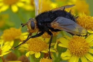 Stekelsluipvlieg - Tachina grossa
