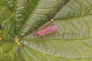 Steltmug -Cheilotrichia cinerascens