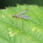 Steltvlieg -Micropeza corrigiolata