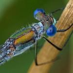 Tangpantserjuffer -Lestes dryas
