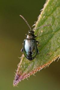 Teunisbloemaardvlo -Altica oleracea