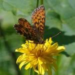 Titania's parelmoervlinder -Boloria titania
