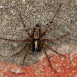 Trechterspin - Gewone Staartspin - Textrix denticulata