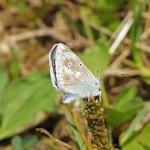 Turkooisblauwtje -Polyommatus dorylas