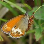 Tweekleurig Hooibeestje -Coenonympha arcania