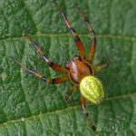 Tweelingkomkommerspin -Araniella opisthographa