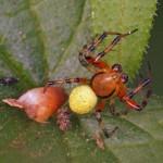 Komkommerspinnen - Araniella spec-Araniella opisthographa