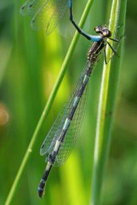 Variabele Waterjuffer - Coenagrion pulchellum