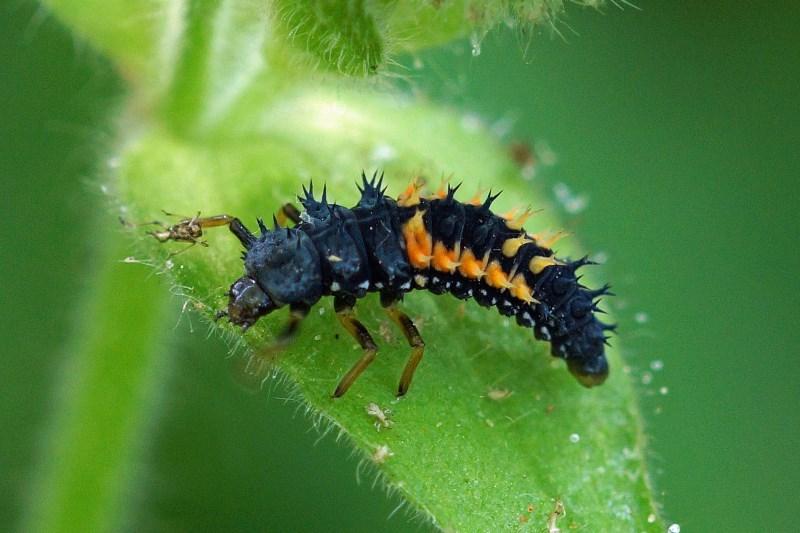 Veelkleurig Aziatisch Lieveheersbeestje-larve