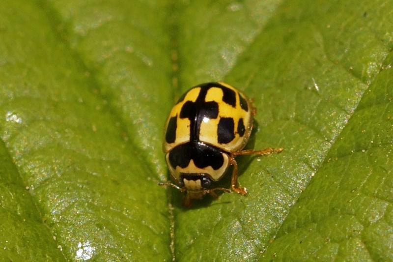 Veertienstippelig Lieveheersbeestje -Propylea quatuordecimpunctata