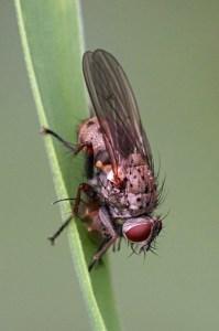 Echte vliegen -Coenosia tigrina