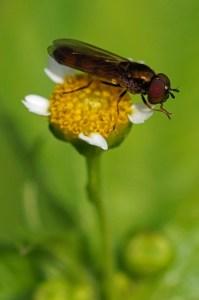 Wapenvlieg -Stratiomyidae