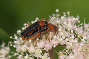 Weekschildkevers -Cantharis thoracica