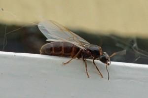 Wegmier -Lasius niger