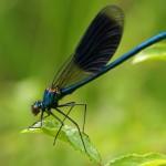 Weidebeekjuffer -Calopteryx splendens