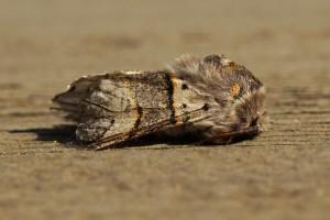 Wilgenhermelijnvlinder -Furcula bifida