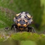 Zevenstippelig Lieveheerbeestje - larve