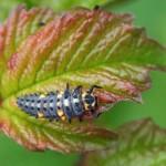Zevenstippelig Lieveheersbeestje – larve