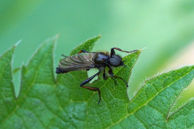 Zwarte Vlieg - Bibio Johannis - muggen -man