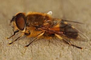 Onvoorspelbare Bijvlieg Eristalis similis