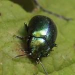 Veelkleurige Hertshooigoudhaan Chrysolina varians