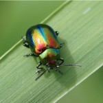 Bladhaantje (chrysolina cerealis)