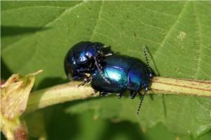 Blauwe muntgoudhaan Chrysolina coerulans