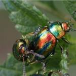 bladhaantjes-chrysolina-cerealis