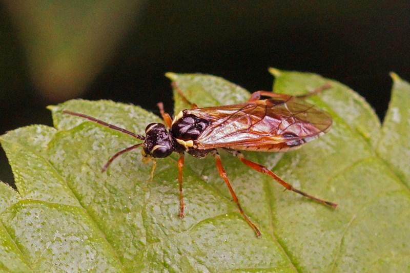 Bladwesp Aglaostigma fulvipes